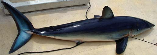 Small mako shark