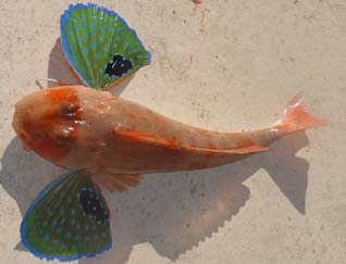 Another gurnard
